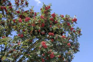 Rowan Ash, Mountain Ash, Sorbus aucuparia,  Eberesche, Vogelbeere