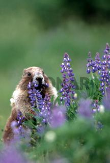 Graues Murmeltier, eisgraues Murmeltier, Marmota marmota caligata, Hoary Marmot, Olympin NP, Washington, USA