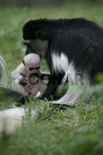 Guereza-Familie mantelaffe, guereza, colobus guereza, abyssinian black-and-white colobus, eastern black-and-white colobus, noerdlicher guereza, colobus abyssinicus