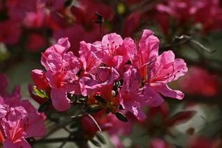 Rhododenfron japonicum, 'Madame van Hecke', Azalee