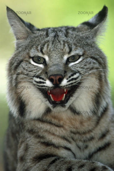 Rotluchs, Bobcat (Lynx rufus)