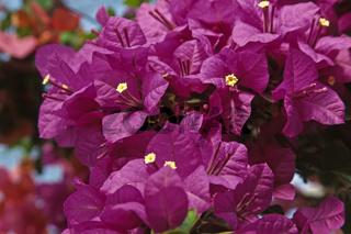 Bougainvillea glabra, Bougainvillea, Drillingsblume