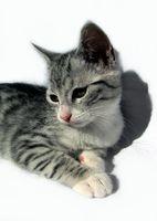 ruhende Katze