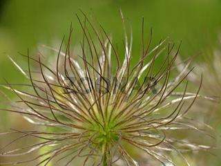 Pulsatilla vulgaris, Gemeine Küchenschelle (Detail)