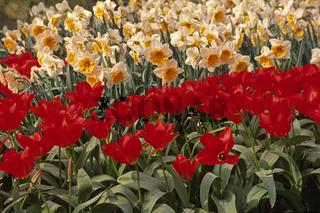 Tulipa 'Madame Lewe' Fosteriana-Tulpe