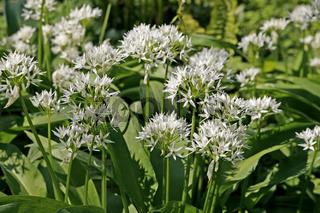 Allium ursinum, Bärenlauch