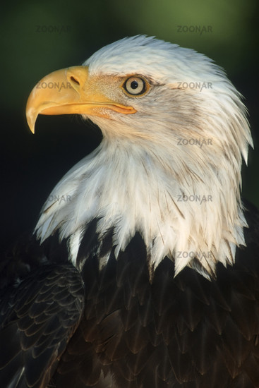 Weisskopfseeadler, Bald Eagle Haliaeetus leucocephalus)