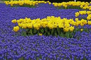 Tulipa & Muscari, Tulpen mit Traubenhyazinthen