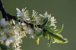 birne, birnen, pyrus, pear, poire, peral, Wildbirne, Holzbirne, Pyrus communis, Blüte, Frühling, Spring, Frühling. Detail, Tautropfen, Dew drop