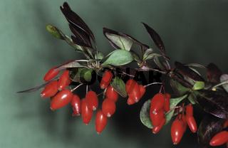 berberitze, berberis vulgaris, gewoenliche berberitze,sauerdorn, essigbeere, european barberry, epine vinette
