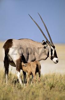 Namibia, Afrika, Etosha NP, Oryxgazelle, oryx, oryxantilope,  Alt-und Jungtier, oryx gazella