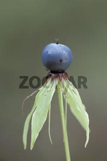 einbeere, paris quadrifolia, parisette a quatre feuilles