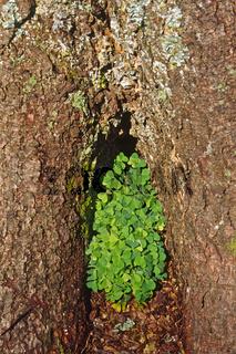 Oxalis acetosella, Wald-Sauerklee