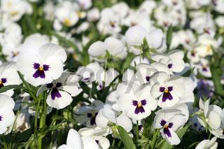 White pansies | Stiefmütterchen
