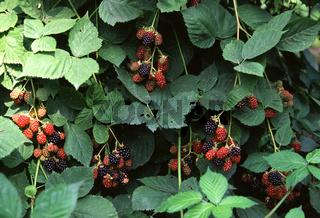 Brombeere, Rubus fruticosus, schwarzbeere, kratzbeere, blackberry, bramble raspberry, blatt