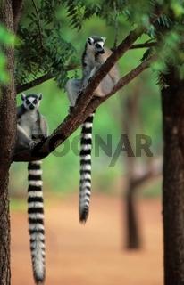 katta, lemur catta, ring-tailed lemur