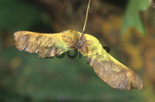 bergahorn,acer pseudoplantanos, sycamore, sycamore maple, erable sycamore, arce sicomoro, arce blanco, fruchtstand (fallschirm),
