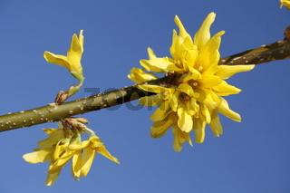 Forsythienzweig Sonnendurchflutete gelbe Pracht