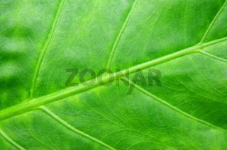 Green tropical leaf background