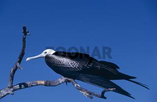 prachtfregattvogel, fregata magnificens, magnificent frigatebird