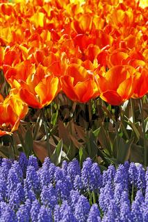 Tulipa 'Flair', Einfache Frühe Tulpe