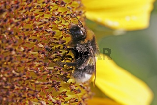 Megabombus hortorum, Gartenhummel auf Sonnenblume