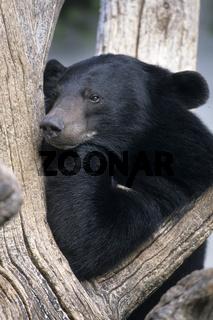 Kragenbaer, Asiatischer Schwarzbaer, Selenarctos thibetanus, Asiatic Black Bear, Asian Black Bear