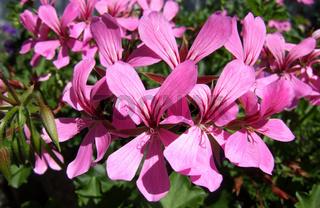 Pelargonium, Geranien, Geraniums