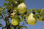 Pears on tree, Highland, Birne,  Pyrus communis, Birnen am Baum, Rosengewaechse