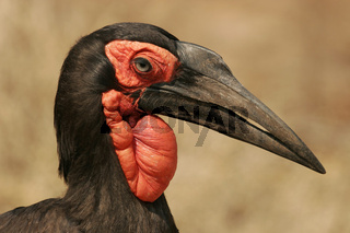 kaffernhornrabe, bucorvus leadbeateri, southern ground-hornbill, ground hornbill