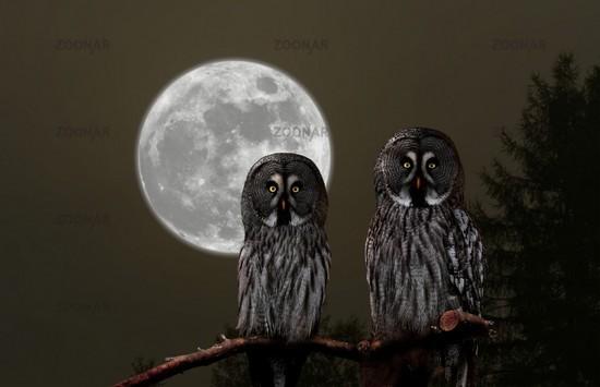 Great grey owl, Strix nebulosa, Europe