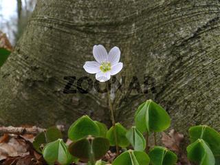Wald-Sauerklee,Oxalis acetosella