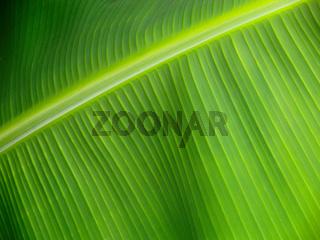 Bananenblatt, Nahaufnahme