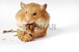 Hamstern, Hamster, Goldhamster,Mescoricetus auratu