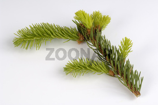 Norway Spruce,  Picea abies, cut out, Objekt Gemeine Fichte, Picea abies, Freisteller, Zweig