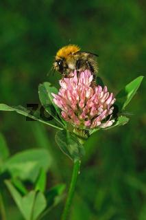 Bombus agrorum, Feldhummel auf Kleeblüte
