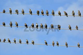 Star, Sturnus vulgaris, Common Starling, Stare sammeln sich zum Vogelzug auf Leitungsdraht