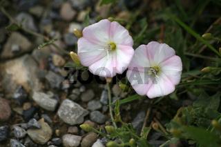ackerwinde, convolvulus arvensis, field bindweed, liseron des champs, correhuela