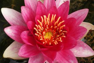 Nymphaea, Seerose, waterlily