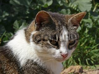 Katze, verwilderte Katze