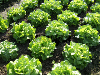 Lactuca sativa, Kopfsalat, Salad