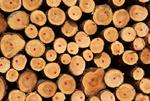 Picea abies, Fichte, Spruce, Holz
