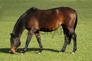 Deutsches Warmblut (Equus caballus)