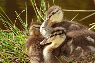 Stockenten, Anas platyrhynchos, mallard duck
