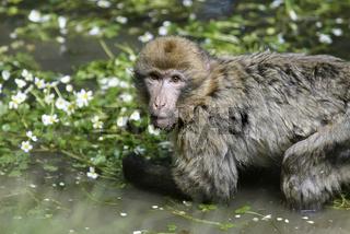 berberaffe, magot, macaca sylvanus, barbary macaque