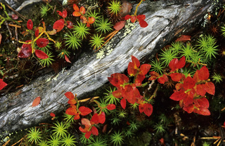 Wurzel, Heidelbeerkraut and Moos, Lappland, Schweden, roots, bilberry bush and moos, lapland, sweden, close up, detail