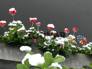Geranien, Pelargonium, Geraniums