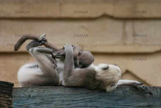 Affen-Spielstunde haumann-langur, hulam, graue langure, indische langure, semnopithecus, gray langur