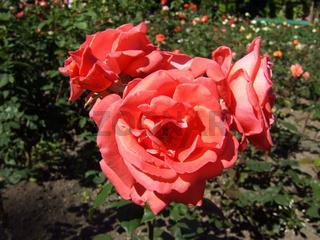 Rosa, Edelrose Herzog von Windsor