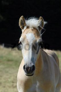 Haflingerhorse, Haflingerpferd